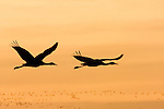 Sandhill Crane (Grus canadensis) pair flying at sunrise, Bosque del Apache National Wildlife Refuge, New Mexico