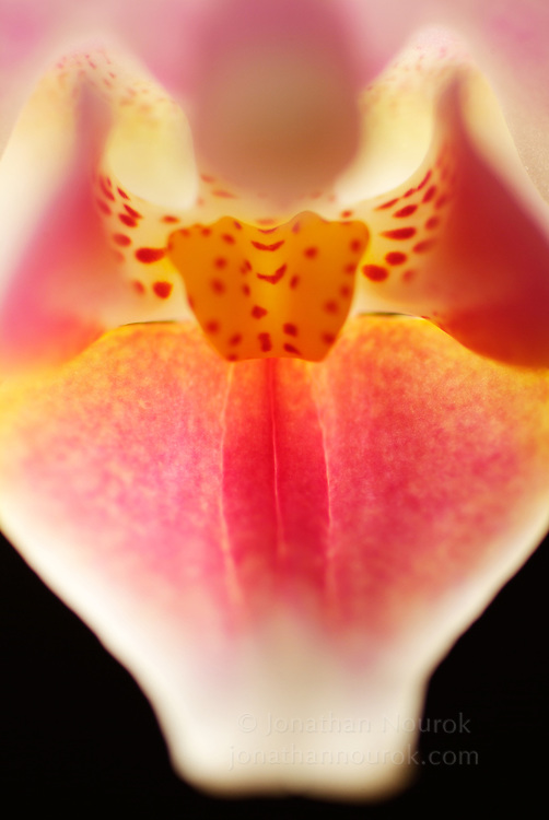 close-up of an orchid (Phalaenopsis sp.) flower  - commercial/editorial licensing for this image is available through: http://www.gettyimages.com/detail/200144611-001/Photographers-Choice