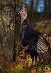 Tom turkey in northern Wisconsin.