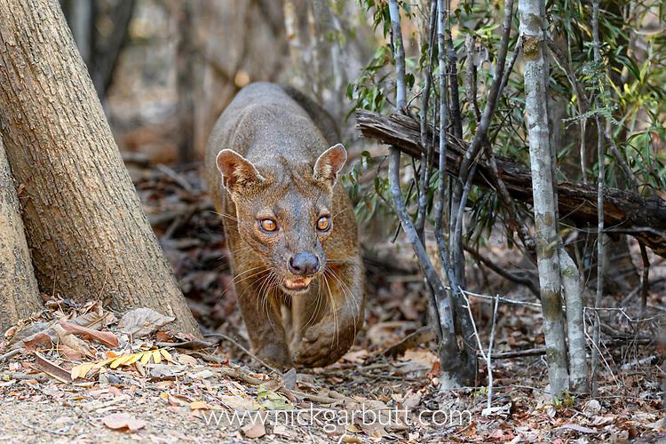 Male fosa (Cryptoprocta ferox)(sometimes erroneously fossa) patrolling territory in dry decidous forest. Kirindy, western Madagascar. Endangered.