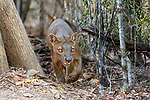 Male fosa (Cryptoprocta ferox)(sometimes erroneously fossa) patrolling territory in dry decidous forest. Kirindy, western Madagascar. Endangered.