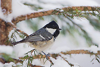 Coal Tit, Parus ater, adult on sprouse branch with snow, Oberaegeri, Switzerland, Dezember 2005