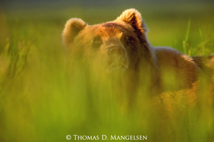 A portrait of a Grizzly Bear through the grass at the Kodiak National Wildlife Refuge in Alaska.