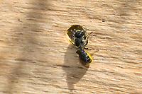 Löcherbiene, Gemeine Löcherbiene, Gewöhnliche Löcherbiene, Weibchen, Löcherbienen, an einer Insekten-Nisthilfe, an Niströhre, Wildbienen-Nisthilfe, Heriades truncorum, Osmia truncorum, Large-headed Resin-Bee, Large-headed Resin Bee, Ridge-Saddled Carpenter-Bee, female