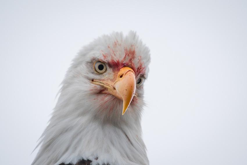 Bald Eagle, Homer, Alaska. Photo by James R. Evans.