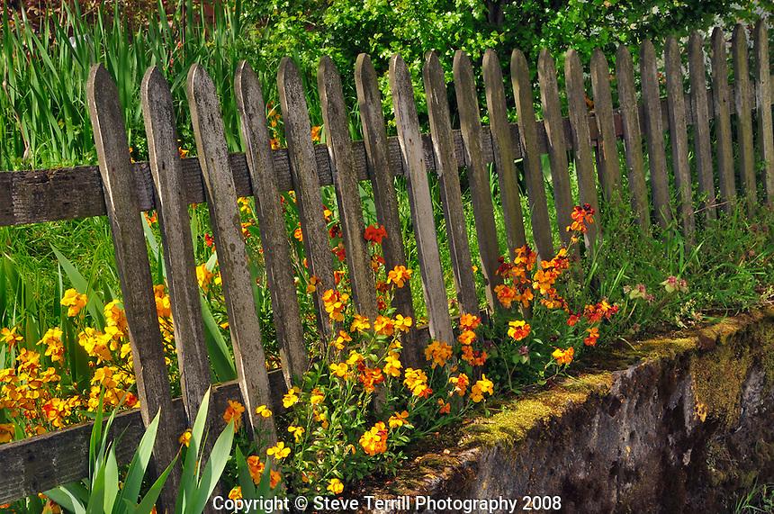 Wallflowers along fence in Portland Oregon