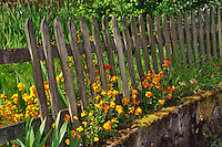 Wallflowers along fence in Portland Oregon
