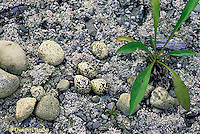 1K01-003z  Killdeer - eggs among rocks, camouflaged - Charadrius vociferus