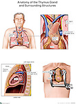 Anterior view of a male, including the thoracic organs: thymus, heart, lungs. An inset shows a detailed look at the thymus and its relationship to the heart, vagus and laryngeal nerve. The two lower images depic