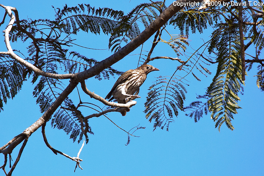 Australasian Figbird female, Cape HIllsbourough NP, Queensland, Australia