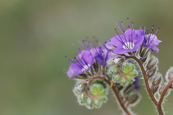 Blue Phacelia (Phacelia distans), blooming, Joshua Tree National Park, California, USA