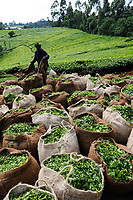 KENYA, Muranga, village Ndiriti, worker harvest tea leaves, collection point, jute bags