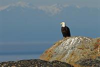 Bald Eagle (Haliaeetus leucocephalus) North America Washington state San Juan Islands