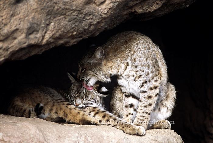 Bobcat Pair Grooming  #C5