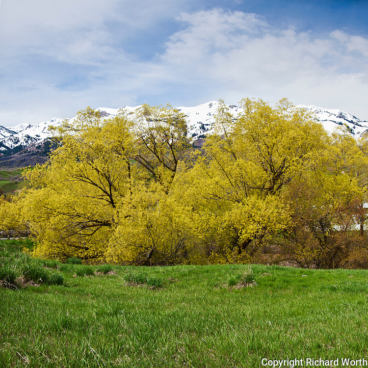 With the Wasatch Mountains in the background, trees, possibly peachleaf willows, come to life in Weber Canyon near Ogden, Utah.