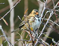 First winter Harris's sparrow