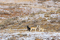 Younger, six month old wild gray wolves (black and grey on right) begging/greeting older male as he returns from hunt.  Alpha female is resting on the left.  These are members of the Canyon pack in central Yellowstone.