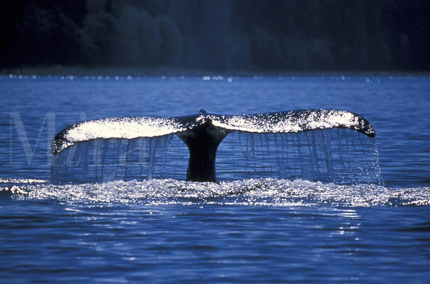 Humpback Whale Diving (Megaptera novaeangliae).  Stephens Passage.  Juneau, Southeast,  Alaska.