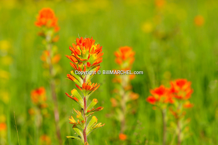 01236-004.15 Wildflowers: Indian Paintbrush growing in lowland meadow typical of species. Flower, plant, red, color.