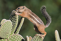 Harris's Antelope Squirrel,  Ammospermophilus harrisii, adult on prickly pear cactus,Tucson, Arizona, USA