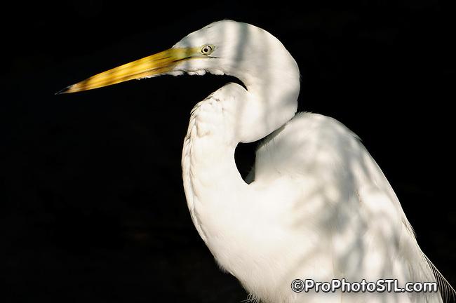Great Egret (Egretta alba)