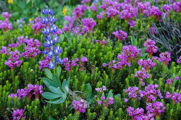 Pink Mountain Heather (Phyllodoce empetriformis) and broadleaf lupine (Lupinus latifolius) in subalpine meadow.  Summer, Mount Rainier area, WA.