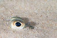 Scholle, Goldbutt, im Sand vergraben, nur das Auge guckt heraus, Augen, Fischauge, Pleuronectes platessa, Plaice, eye, eyes, Plie d'Europe, Plattfisch