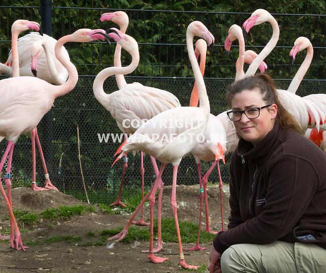 Rhenen, 060415<br /> Mevr. Schaap bij Europese Flamingo's in Ouwehands Dierenpark<br /> Foto: Sjef Prins - APA Foto
