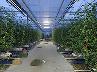 Switzerland; Ticino; Magadino; Sopraceneri; Agriculture; Industrial; Reportage; Greenhouses; Tomatoes growing; Greenhouse; Plants