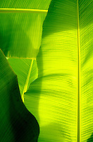 Luminescent banana leaves