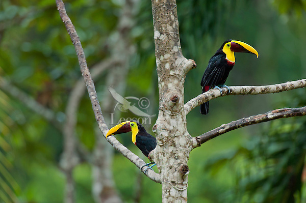 Chestnut-mandibled Toucans, or Swainson's Toucans (Ramphastos swainsonii or Ramphastos ambiguus swainsonii).  Found from Honduras south through Central America into northern South America.  These photos are from Costa Rica.