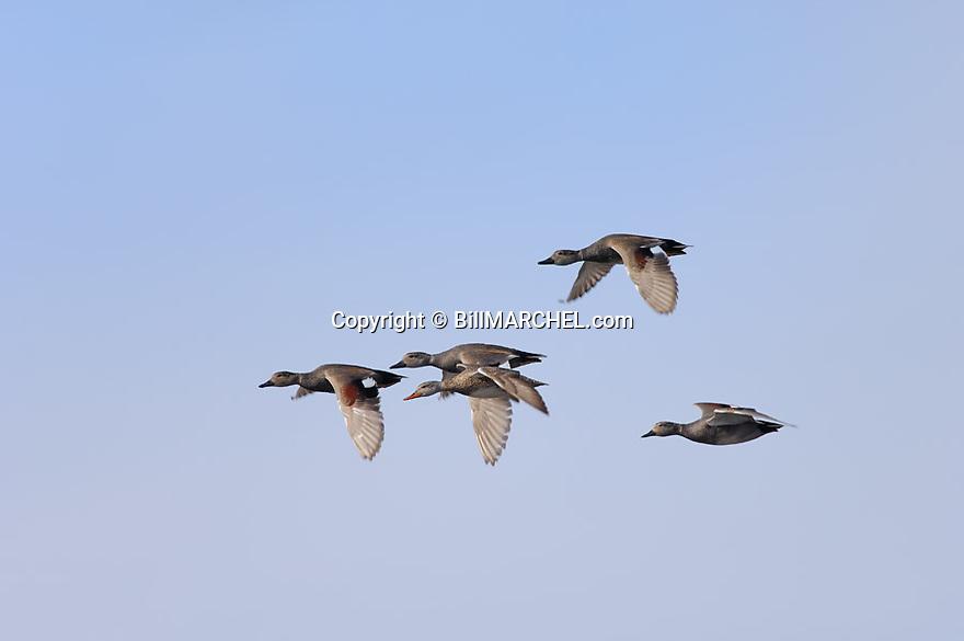 00319-005.01 Gadwall Duck (DIGITAL) flock in flight against a blue sky.  Hunt, action, fly, courtship, waterfowl, wetlands.  H1L1