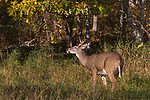 Young white-tailed buck - flehmen behavior