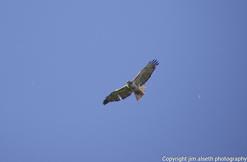 Swainsons Hawk in flight over farmer's field.