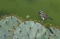 Black-throated Sparrow, Amphispiza bilineata, adult on Texas Prickly Pear Cactus (Opuntia lindheimeri), Starr County, Rio Grande Valley, Texas, USA