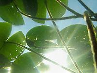Weiße Seerose, Blätter Unterwasser, tauchend von unten gegen den Himmel, Unterwasserfotografie, Nymphaea alba, White Water Lily, European White Waterlily, White Lotus, Nenuphar, Schwimmblattpflanze, Schwimmblatt-Pflanze, Unterwasserfotografie, Unterwasser-Fotografie,