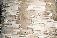 Bark detail of birch tree.