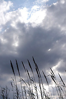 Canne al vento. Cane in the wind...