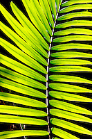 Bangalow Palm Frond in Lamington National Park, Queensland