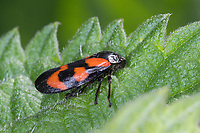 Blutzikade, Blut-Zikade, Rotschwarze Schaumzikade, Zikade, Cercopis vulnerata, Cercopis sanguinea, red-and-black froghopper, black-and-red froghopper, froghopper, le cercope sanguin