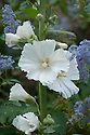 Alcea pallida, mid August. A white form of Hollyhock.