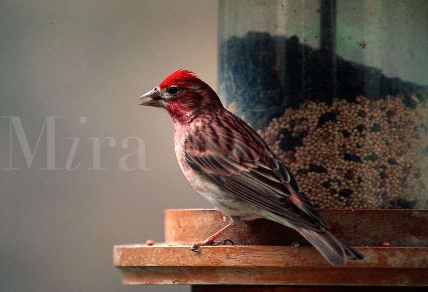 Purple Finch - male, (Carpodacius purpreus). Arizona.