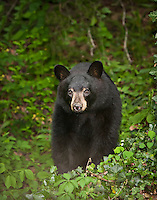 Black Bear in the woods in the Blue Ridge Mountains of North Carolina