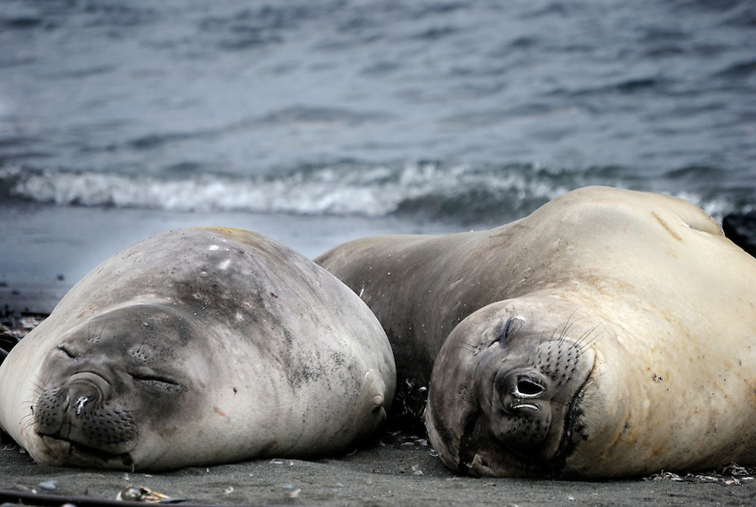 Bliss -Female Elephant seals taking in the airs at Sandy Bay, Macquarie Island
