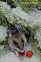 MU12-091z   Deer Mouse - eating berries - Peromyscus maniculatus