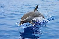 pantropical spotted dolphin jumping, Stenella attenuata, Kona Coast, Big Island, Hawaii, Pacific Ocean