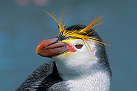 head of royal penguin, Eudyptes schlegeli, showing feathers and coloration, MacQuarie Island, Australia