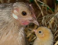 Zwerghuhn, Huhn, Henne mit Küken, Hühnerküken, Zwerghühner, glückliche Hühner, artgerechte Tierhaltung