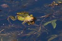 Teichfrosch, Teich-Frosch, Grünfrosch, Wasserfrosch, Grün-Frosch, Wasser-Frosch, Frosch, Rana kl. esculenta, Pelophylax kl. esculentus, Edible Frog, Grenouille verte