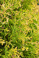 Arborvitae Thuja occidentalis 'Rheingold'  closeup of golden yellow foliage